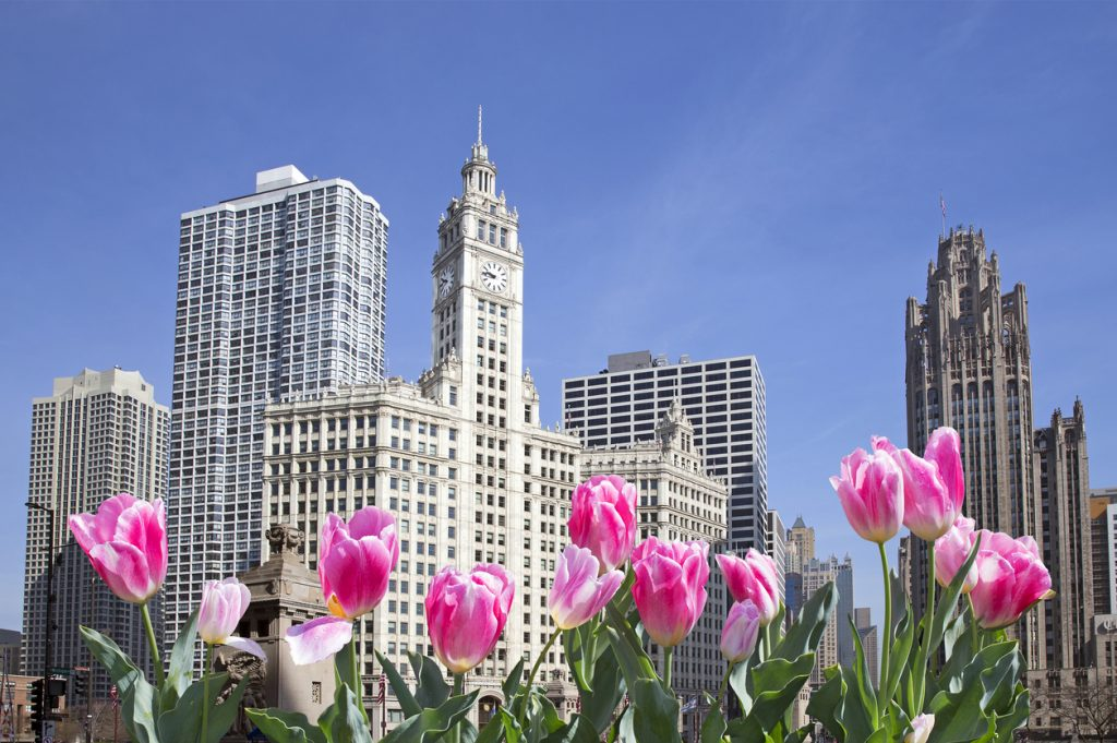 Spring in Chicago: Chicago downtown with pink flowers in front.